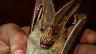 Face to Face with a Ghost Bat | Earth Unplugged