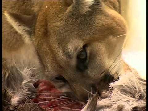 Documentaire Animalier Chroniques de l'Amérique Sauvage  DVD 3/3 épisode 5 Le Temps Des Loups.