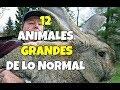 12 Animales Extremadamente Grandes