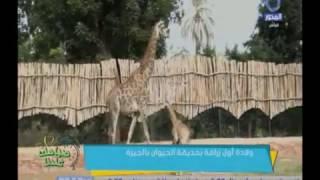 بالفيديو..حديقة الحيوان ترزق بأول مولود زرافة