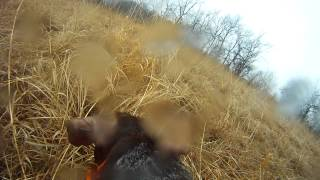 Dog Eye View German Shorthair Pointer Quail Hunting