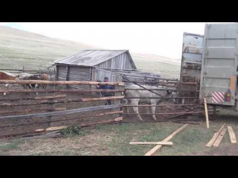 Погрузка скота в автовоз  (мат)
