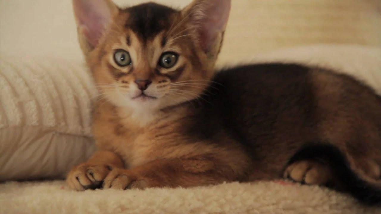 Продажа абиссинских кошек, котов и котят с ценами и фото от владельцев в хмельницком. Объявления хозяев и питомников.