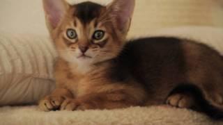 Абиссинские кошки питомник D'Or PtitPrince