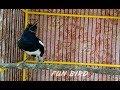 Kacer Gak Gacor Pancing Saja Dengan Kacer Gacor Dor Ini  Mp3 - Mp4 Download