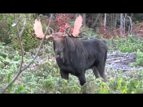 Moose Calling 2015