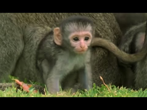 Baby Monkeys At Play is listed (or ranked) 2 on the list 7 Intolerably Cute Baby Monkey Videos