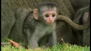 Cute baby monkeys at play | Cheeky Monkey | BBC thumbnail