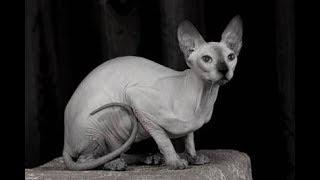 Как выглядят породы кошек(ДОНСКОЙ СФИНКС из Ростова-на-Дону )