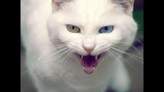 Агресивный белый кот