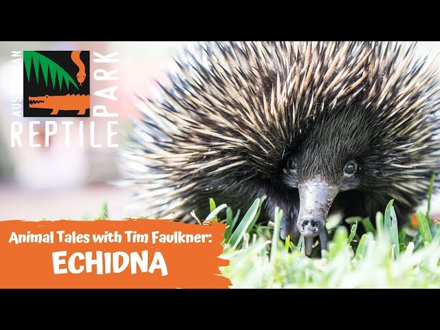 ANIMAL TALES WITH TIM FAULKNER | EPISODE FIVE | ECHIDNA