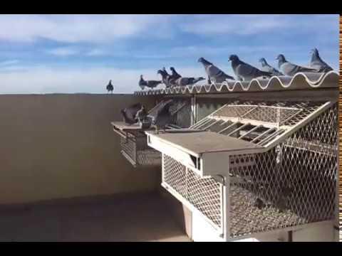 Pigeon voyageur :lwla3a m3a abde lhafid