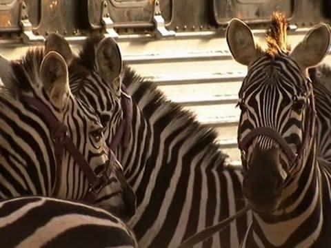 Dos cebras escaparon de un circo y causaron caos en las calles de Filadelfia