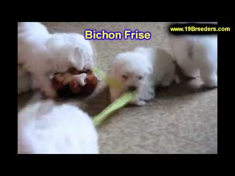 Bichon Frise, Puppies, For, Sale, In, Wichita, Kansas, KS, Pittsburg, Hays, Liberal, Prairie Village