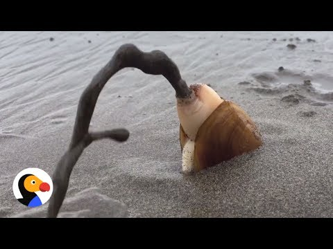 How A Clam Buries Himself   The Dodo