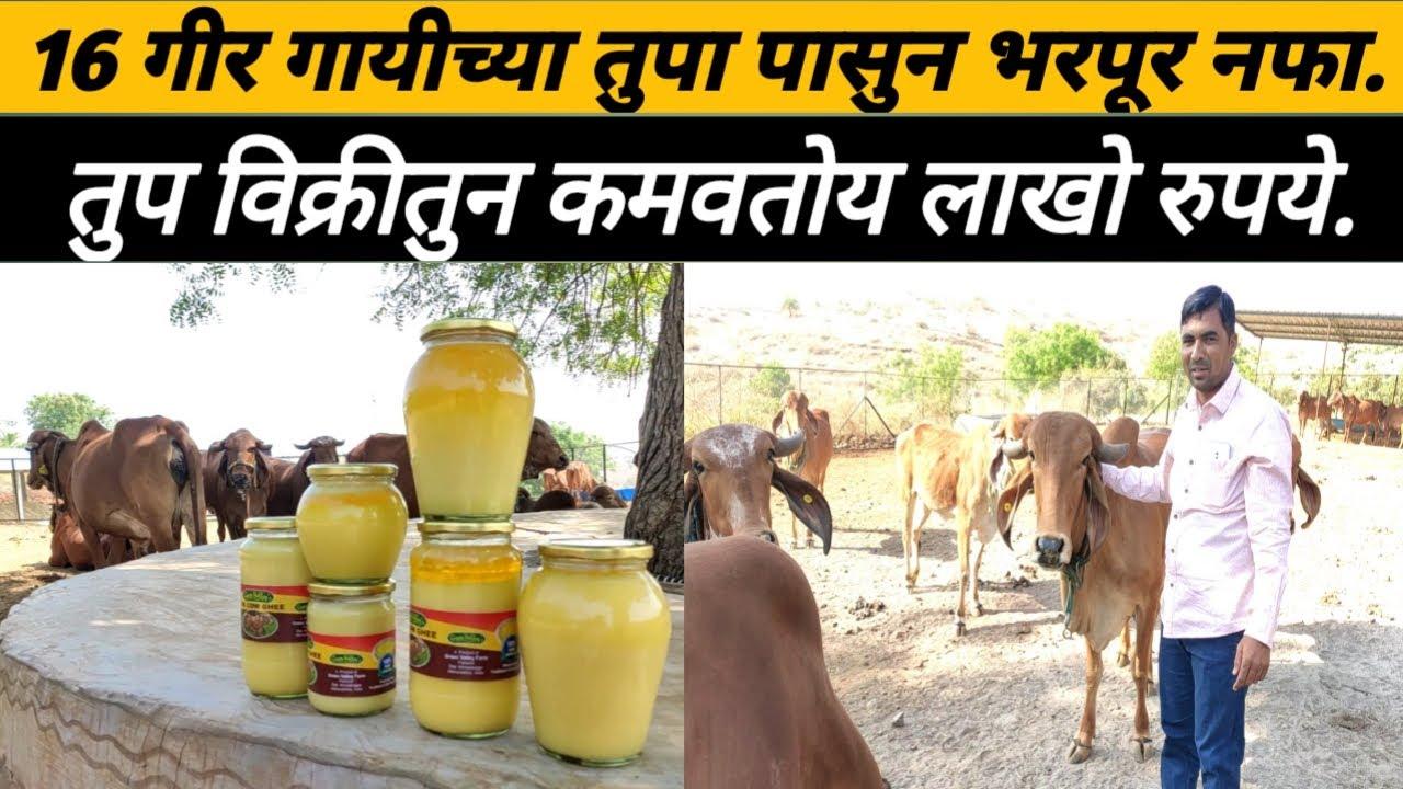 16 गीर गायी पासून तुप विक्रीतुन कमवतोय लाखो रुपये:Gir cow rearing:
