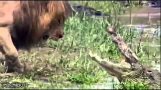 Лев против крокодила(Лев отгоняет крокодила от добычи, которой питаются львы на берегу реки. Постоянные пополнения интересного..., 2014-07-20T05:10:51.000Z)