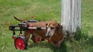 "Dachshund ""fitz"" In A K-9cart.com Dog Wheelchair"