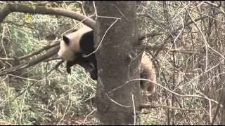Documental El panda gigante
