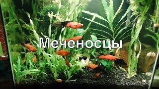 Меченосцы в аквариуме на 30 литров