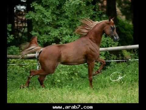 خيول عربية اصيلة للبيع في الاردن
