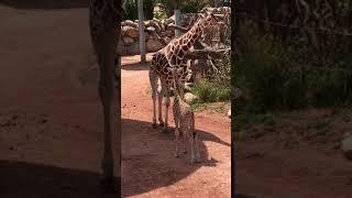 Viv the giraffe calf 0-2 months at Cmzoo
