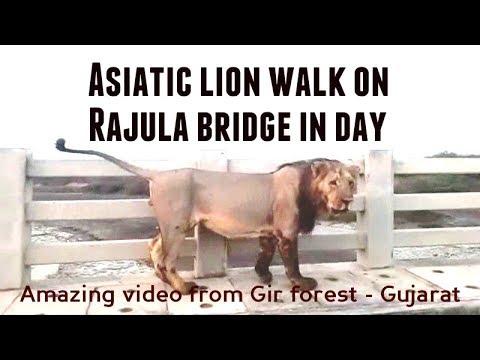 क्यों बब्बर शेर दिनदहाड़े राजुला पुल पर चल रहा है ? Why Asiatic lion walk on Rajula bridge in day