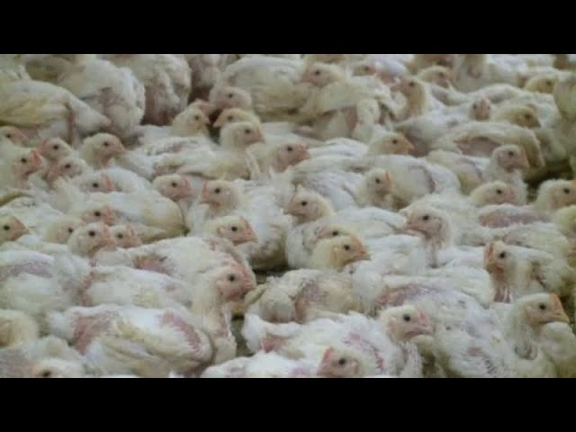 <span class='as_h2'><a href='https://webtv.eklogika.gr/' target='_blank' title='Γαλλία: Πολτοποίηση πουλερικών'>Γαλλία: Πολτοποίηση πουλερικών</a></span>