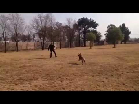 Protection Dog Training 1