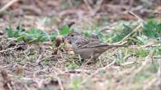 ♪鳥くんのI LOVE BIRD 野鳥動画~キガシラシトド
