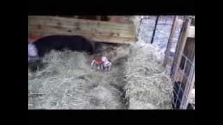 Hereford Hogs: piglet wrestling