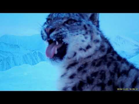 Снежные барсы в Бурятии. Кадры с видеоловушек
