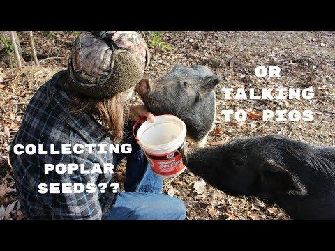 Pigs!  Gotta LOVE Them!  ~~~Collecting Poplar Seeds