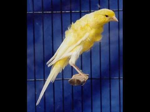 chanson oiseau canari mp3