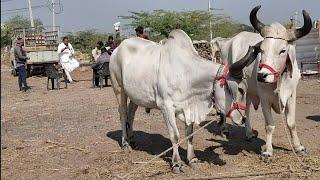Khareda Bail Bazar Gujarat    Ox Marketing    Gujarat Bail Bazar    Bull Marketing    Khareda