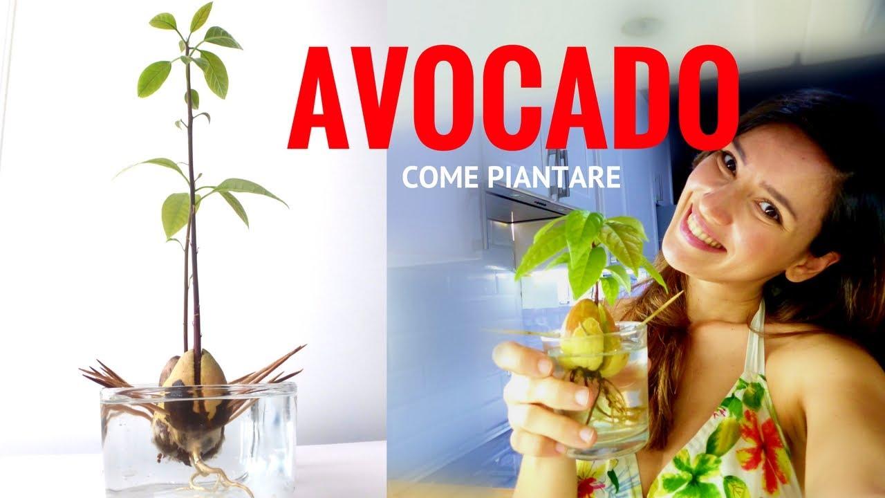 Come Piantare Il Mango come piantare seme avocado - ricette di gabri kitchen brasita