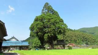 久夛良木の巨大杉