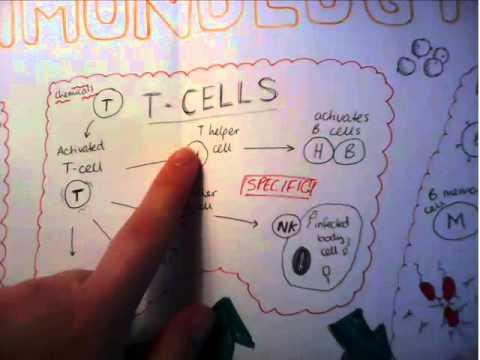Immunology explained A level Biology
