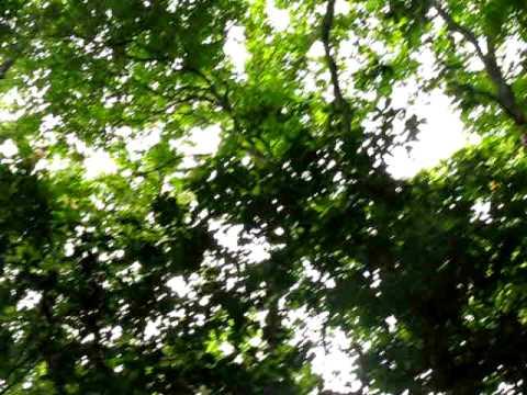Howler Monkeys in Tikal