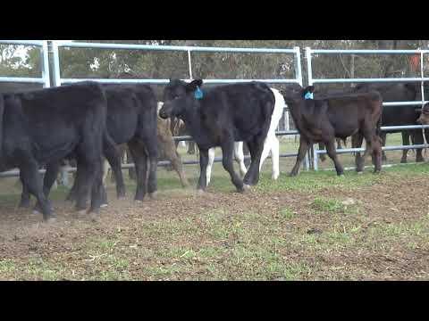 RJ & AR McDonald - Auctions Plus FRI 23.03.18 - Station Mated Cows & Calves - Cows V3