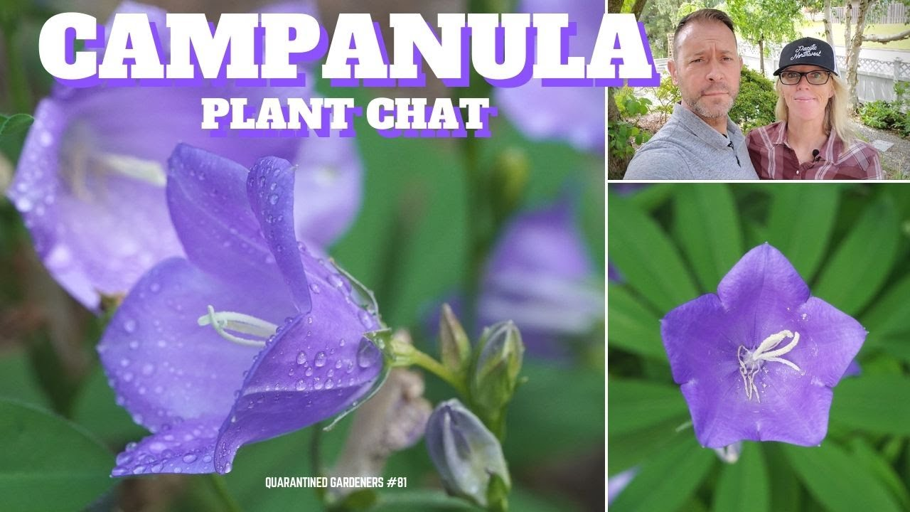 Download 🔔 Campanula Bellflower Plant Chat - QG Day 81 🔔