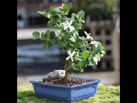 Natal Plum Bonsai Tree Care Youtube