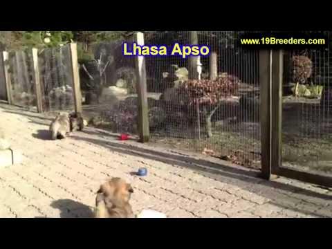 Lhasa Apso, Puppies, For, Sale, In, East Honolulu, Hawaii, HI, Makaha, Pukalani, Haiku Pauwela, Mail