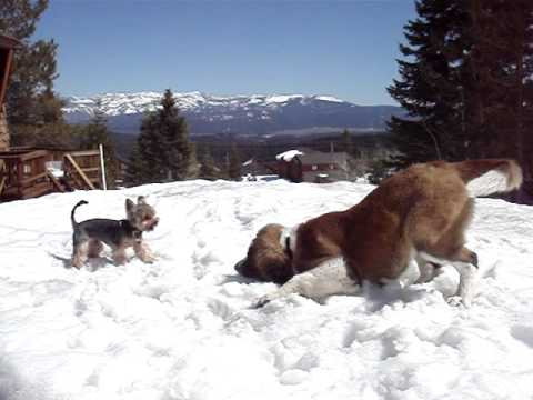 Yorkie St Bernard Snow Play In Lake Tahoe Youtube