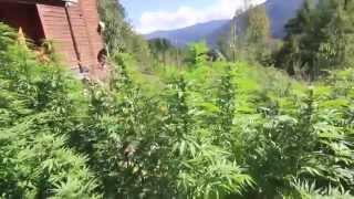 видео citrus skunk strain