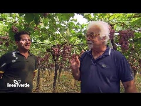 L'uva da tavola - Linea Verde 10/09/2017