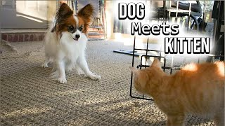 Dog Meets Kitten for the FIRST TIME // Percy the Papillon Dog