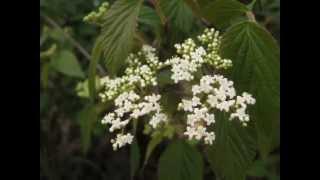 呂宋莢迷(紅子莢迷) :Luzon(Philippine)  Viburnum