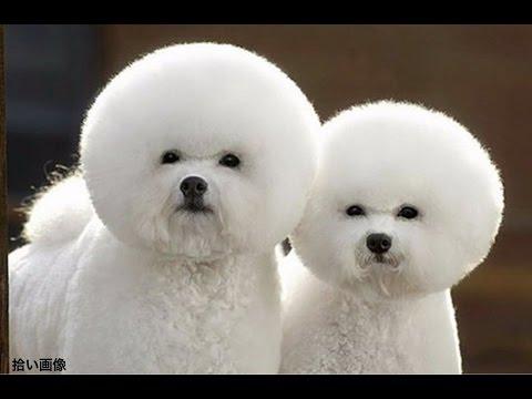 「アフロ犬」の画像検索結果