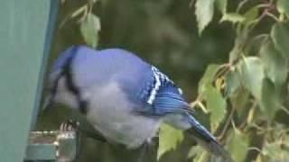 A Blue Jay making a mess at a bird feeder~ A video ~ Toronto